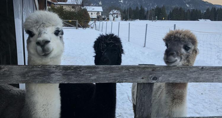 Winter-Alpakas